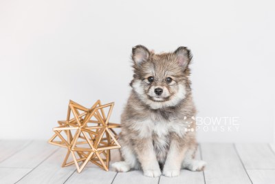 puppy101 week7 BowTiePomsky.com Bowtie Pomsky Puppy For Sale Husky Pomeranian Mini Dog Spokane WA Breeder Blue Eyes Pomskies Celebrity Puppy web5