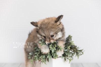 puppy101 week7 BowTiePomsky.com Bowtie Pomsky Puppy For Sale Husky Pomeranian Mini Dog Spokane WA Breeder Blue Eyes Pomskies Celebrity Puppy web6