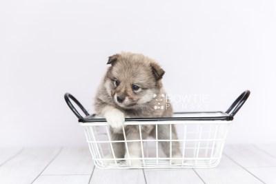 puppy102 week5 BowTiePomsky.com Bowtie Pomsky Puppy For Sale Husky Pomeranian Mini Dog Spokane WA Breeder Blue Eyes Pomskies Celebrity Puppy web2