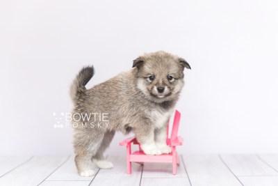 puppy102 week5 BowTiePomsky.com Bowtie Pomsky Puppy For Sale Husky Pomeranian Mini Dog Spokane WA Breeder Blue Eyes Pomskies Celebrity Puppy web3