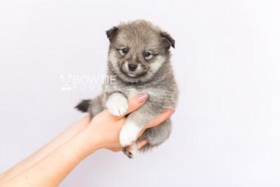puppy102 week5 BowTiePomsky.com Bowtie Pomsky Puppy For Sale Husky Pomeranian Mini Dog Spokane WA Breeder Blue Eyes Pomskies Celebrity Puppy web6