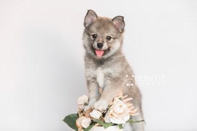 puppy102 week7 BowTiePomsky.com Bowtie Pomsky Puppy For Sale Husky Pomeranian Mini Dog Spokane WA Breeder Blue Eyes Pomskies Celebrity Puppy web3