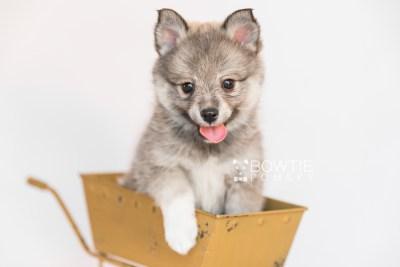 puppy102 week7 BowTiePomsky.com Bowtie Pomsky Puppy For Sale Husky Pomeranian Mini Dog Spokane WA Breeder Blue Eyes Pomskies Celebrity Puppy web6