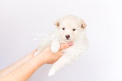 puppy103 week5 BowTiePomsky.com Bowtie Pomsky Puppy For Sale Husky Pomeranian Mini Dog Spokane WA Breeder Blue Eyes Pomskies Celebrity Puppy web6