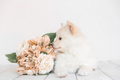 puppy103 week7 BowTiePomsky.com Bowtie Pomsky Puppy For Sale Husky Pomeranian Mini Dog Spokane WA Breeder Blue Eyes Pomskies Celebrity Puppy web4