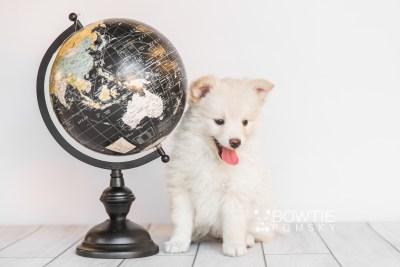 puppy103 week7 BowTiePomsky.com Bowtie Pomsky Puppy For Sale Husky Pomeranian Mini Dog Spokane WA Breeder Blue Eyes Pomskies Celebrity Puppy web5