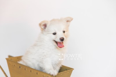 puppy103 week7 BowTiePomsky.com Bowtie Pomsky Puppy For Sale Husky Pomeranian Mini Dog Spokane WA Breeder Blue Eyes Pomskies Celebrity Puppy web6