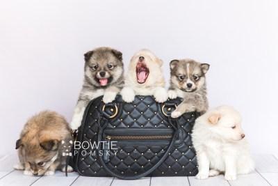 puppy99-103 week5 BowTiePomsky.com Bowtie Pomsky Puppy For Sale Husky Pomeranian Mini Dog Spokane WA Breeder Blue Eyes Pomskies Celebrity Puppy web2