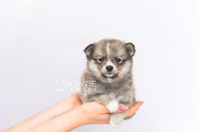 puppy99 week5 BowTiePomsky.com Bowtie Pomsky Puppy For Sale Husky Pomeranian Mini Dog Spokane WA Breeder Blue Eyes Pomskies Celebrity Puppy web6
