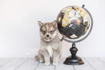 puppy99 week7 BowTiePomsky.com Bowtie Pomsky Puppy For Sale Husky Pomeranian Mini Dog Spokane WA Breeder Blue Eyes Pomskies Celebrity Puppy web5