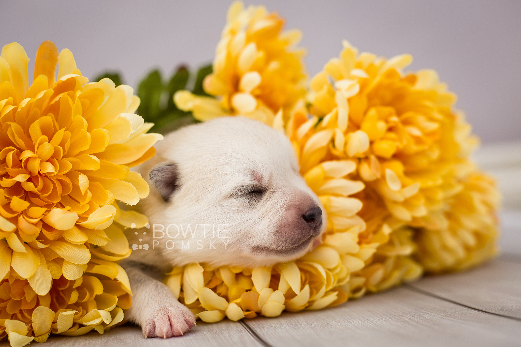 1st Gen Puppy – Boy – Finn - Bowtie Pomsky LLC