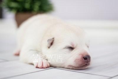 puppy104 week1 BowTiePomsky.com Bowtie Pomsky Puppy For Sale Husky Pomeranian Mini Dog Spokane WA Breeder Blue Eyes Pomskies Celebrity Puppy web3
