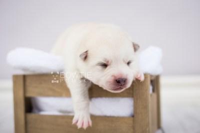 puppy104 week1 BowTiePomsky.com Bowtie Pomsky Puppy For Sale Husky Pomeranian Mini Dog Spokane WA Breeder Blue Eyes Pomskies Celebrity Puppy web5