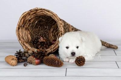 puppy104 week3 BowTiePomsky.com Bowtie Pomsky Puppy For Sale Husky Pomeranian Mini Dog Spokane WA Breeder Blue Eyes Pomskies Celebrity Puppy web1