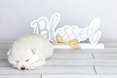 puppy104 week3 BowTiePomsky.com Bowtie Pomsky Puppy For Sale Husky Pomeranian Mini Dog Spokane WA Breeder Blue Eyes Pomskies Celebrity Puppy web3