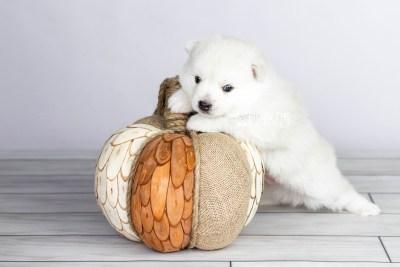 puppy104 week3 BowTiePomsky.com Bowtie Pomsky Puppy For Sale Husky Pomeranian Mini Dog Spokane WA Breeder Blue Eyes Pomskies Celebrity Puppy web4