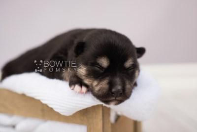 puppy105 week1 BowTiePomsky.com Bowtie Pomsky Puppy For Sale Husky Pomeranian Mini Dog Spokane WA Breeder Blue Eyes Pomskies Celebrity Puppy web3