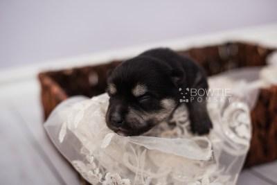 puppy105 week1 BowTiePomsky.com Bowtie Pomsky Puppy For Sale Husky Pomeranian Mini Dog Spokane WA Breeder Blue Eyes Pomskies Celebrity Puppy web5