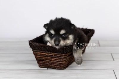 puppy105 week3 BowTiePomsky.com Bowtie Pomsky Puppy For Sale Husky Pomeranian Mini Dog Spokane WA Breeder Blue Eyes Pomskies Celebrity Puppy web2