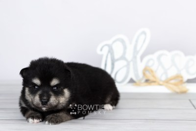 puppy105 week3 BowTiePomsky.com Bowtie Pomsky Puppy For Sale Husky Pomeranian Mini Dog Spokane WA Breeder Blue Eyes Pomskies Celebrity Puppy web4