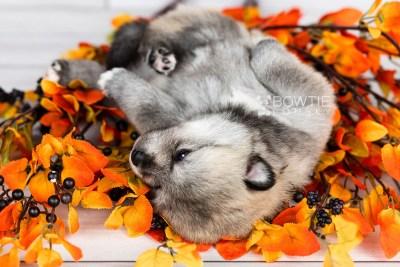 puppy106 week3 BowTiePomsky.com Bowtie Pomsky Puppy For Sale Husky Pomeranian Mini Dog Spokane WA Breeder Blue Eyes Pomskies Celebrity Puppy web1