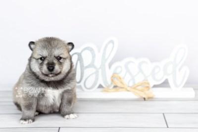puppy106 week3 BowTiePomsky.com Bowtie Pomsky Puppy For Sale Husky Pomeranian Mini Dog Spokane WA Breeder Blue Eyes Pomskies Celebrity Puppy web6