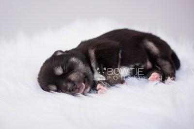 puppy107 week1 BowTiePomsky.com Bowtie Pomsky Puppy For Sale Husky Pomeranian Mini Dog Spokane WA Breeder Blue Eyes Pomskies Celebrity Puppy web2
