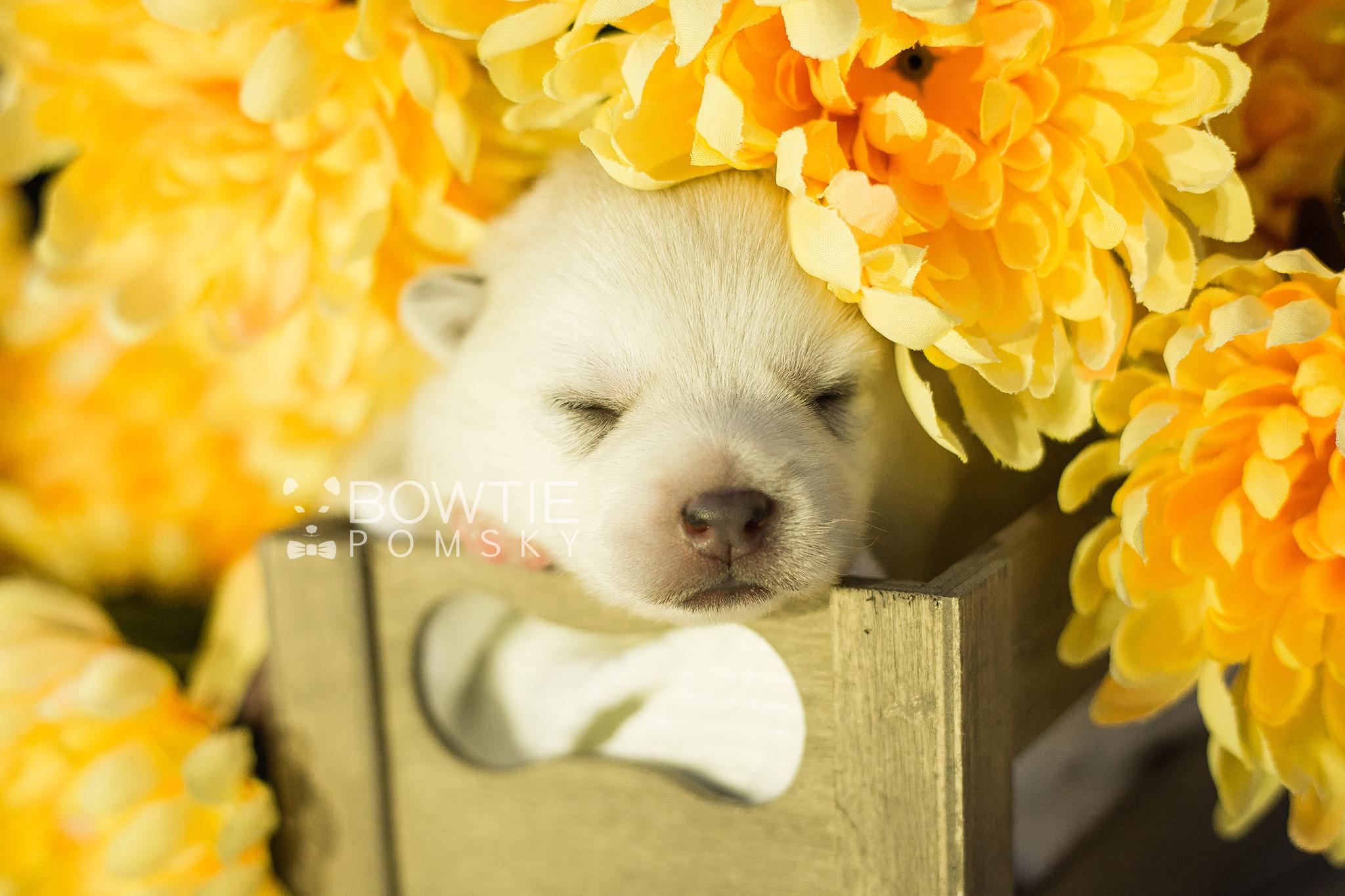 1st Gen Puppy – Girl – Charlotte - Bowtie Pomsky LLC
