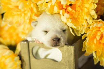 puppy108 week1 BowTiePomsky.com Bowtie Pomsky Puppy For Sale Husky Pomeranian Mini Dog Spokane WA Breeder Blue Eyes Pomskies Celebrity Puppy web1