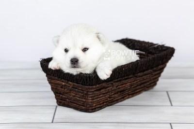 puppy108 week3 BowTiePomsky.com Bowtie Pomsky Puppy For Sale Husky Pomeranian Mini Dog Spokane WA Breeder Blue Eyes Pomskies Celebrity Puppy web3