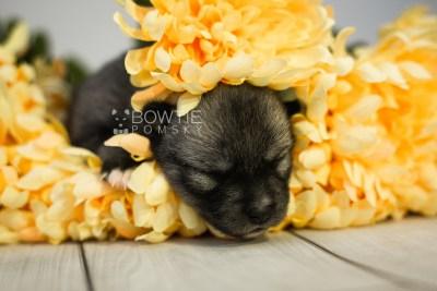 puppy109 week1 BowTiePomsky.com Bowtie Pomsky Puppy For Sale Husky Pomeranian Mini Dog Spokane WA Breeder Blue Eyes Pomskies Celebrity Puppy web7