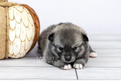 puppy109 week3 BowTiePomsky.com Bowtie Pomsky Puppy For Sale Husky Pomeranian Mini Dog Spokane WA Breeder Blue Eyes Pomskies Celebrity Puppy web5