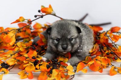 puppy109 week3 BowTiePomsky.com Bowtie Pomsky Puppy For Sale Husky Pomeranian Mini Dog Spokane WA Breeder Blue Eyes Pomskies Celebrity Puppy web6