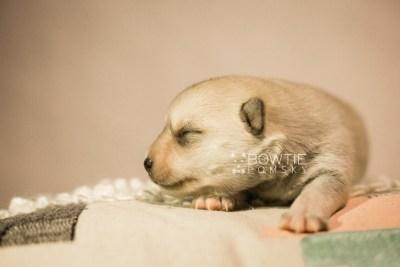 puppy110 week1 BowTiePomsky.com Bowtie Pomsky Puppy For Sale Husky Pomeranian Mini Dog Spokane WA Breeder Blue Eyes Pomskies Celebrity Puppy web3