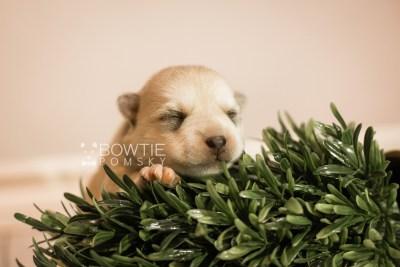 puppy110 week1 BowTiePomsky.com Bowtie Pomsky Puppy For Sale Husky Pomeranian Mini Dog Spokane WA Breeder Blue Eyes Pomskies Celebrity Puppy web4