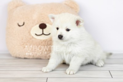 puppy104 week5 BowTiePomsky.com Bowtie Pomsky Puppy For Sale Husky Pomeranian Mini Dog Spokane WA Breeder Blue Eyes Pomskies Celebrity Puppy web1