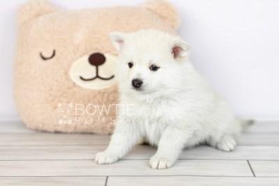 puppy104 week5 BowTiePomsky.com Bowtie Pomsky Puppy For Sale Husky Pomeranian Mini Dog Spokane WA Breeder Blue Eyes Pomskies Celebrity Puppy web1