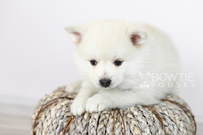 puppy104 week5 BowTiePomsky.com Bowtie Pomsky Puppy For Sale Husky Pomeranian Mini Dog Spokane WA Breeder Blue Eyes Pomskies Celebrity Puppy web4