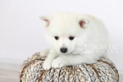 puppy104 week5 BowTiePomsky.com Bowtie Pomsky Puppy For Sale Husky Pomeranian Mini Dog Spokane WA Breeder Blue Eyes Pomskies Celebrity Puppy web4