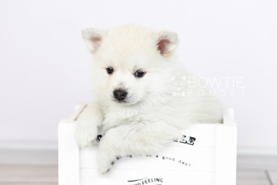 puppy104 week5 BowTiePomsky.com Bowtie Pomsky Puppy For Sale Husky Pomeranian Mini Dog Spokane WA Breeder Blue Eyes Pomskies Celebrity Puppy web5