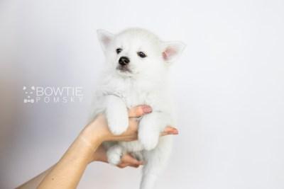 puppy104 week7 BowTiePomsky.com Bowtie Pomsky Puppy For Sale Husky Pomeranian Mini Dog Spokane WA Breeder Blue Eyes Pomskies Celebrity Puppy web1