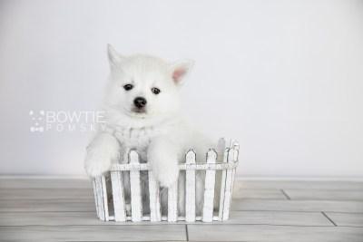 puppy104 week7 BowTiePomsky.com Bowtie Pomsky Puppy For Sale Husky Pomeranian Mini Dog Spokane WA Breeder Blue Eyes Pomskies Celebrity Puppy web2