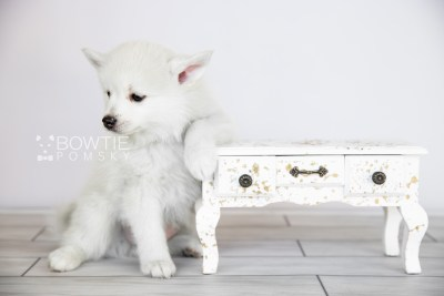 puppy104 week7 BowTiePomsky.com Bowtie Pomsky Puppy For Sale Husky Pomeranian Mini Dog Spokane WA Breeder Blue Eyes Pomskies Celebrity Puppy web4