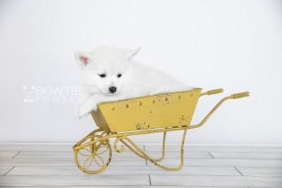 puppy104 week7 BowTiePomsky.com Bowtie Pomsky Puppy For Sale Husky Pomeranian Mini Dog Spokane WA Breeder Blue Eyes Pomskies Celebrity Puppy web5