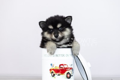 puppy105 week5 BowTiePomsky.com Bowtie Pomsky Puppy For Sale Husky Pomeranian Mini Dog Spokane WA Breeder Blue Eyes Pomskies Celebrity Puppy web3