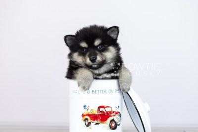 puppy105 week5 BowTiePomsky.com Bowtie Pomsky Puppy For Sale Husky Pomeranian Mini Dog Spokane WA Breeder Blue Eyes Pomskies Celebrity Puppy web3