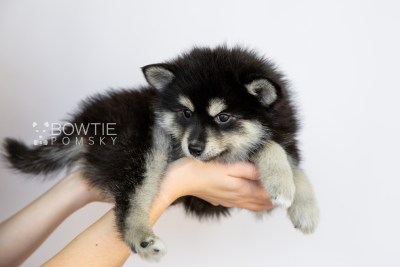puppy105 week7 BowTiePomsky.com Bowtie Pomsky Puppy For Sale Husky Pomeranian Mini Dog Spokane WA Breeder Blue Eyes Pomskies Celebrity Puppy web1