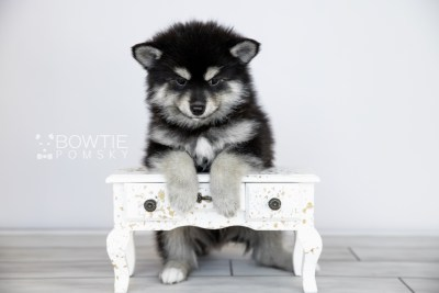 puppy105 week7 BowTiePomsky.com Bowtie Pomsky Puppy For Sale Husky Pomeranian Mini Dog Spokane WA Breeder Blue Eyes Pomskies Celebrity Puppy web4