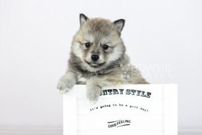 puppy106 week5 BowTiePomsky.com Bowtie Pomsky Puppy For Sale Husky Pomeranian Mini Dog Spokane WA Breeder Blue Eyes Pomskies Celebrity Puppy web5