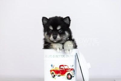 puppy107 week5 BowTiePomsky.com Bowtie Pomsky Puppy For Sale Husky Pomeranian Mini Dog Spokane WA Breeder Blue Eyes Pomskies Celebrity Puppy web3
